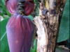 bananblomst