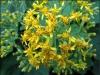 gul-blomst
