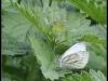 Diary 2011-08-06 - Kaalsommerfugl