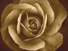 leg-med-rose-2