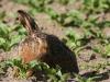 borreby-mose-hare-2
