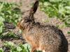 borreby-mose-hare-3