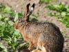 borreby-mose-hare-4
