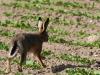 borreby-mose-hare-5