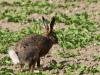 borreby-mose-hare-6