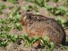 borreby-mose-hare