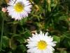 i-blomst