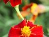 frilandsmuseet-blomsterbed-ii