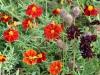 frilandsmuseet-blomsterbed