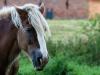 frilandsmuseet-hest