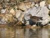 karlstrup-fugl