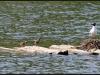 Fuglereservatet 2011-07-03 VI