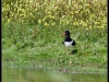 Fuglereservatet 2011-07-03 XII