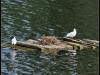 Fuglereservatet 2011-07-03 XVIII