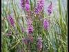 Fuglereservatet 2011-08-21 - Flora IV
