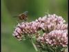 Fuglereservatet 2011-08-21 - Flue
