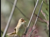 Fuglereservatet 2011-08-21 - Pungmejse - hun II