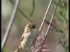 Fuglereservatet 2011-08-21 - Pungmejse - hun III