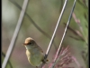 Fuglereservatet 2011-08-21 - Pungmejse - hun