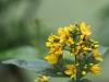 en-gul-blomst-ii