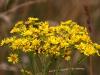 gule-blomster