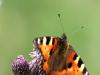 de-foerste-sommerfugle-2