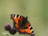 de-foerste-sommerfugle-3