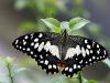 lille-sommerfugl