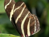 sommerfugl-10