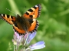sommerfugl-3