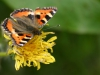 sommerfugl-4