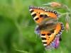 sommerfugl-5