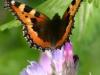 sommerfugl-6