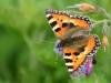 sommerfugl-7