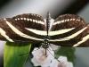 sommerfugl-8