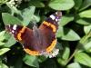 sommerfugl-ii