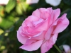 pink-rose-original