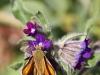 butterfly-ii