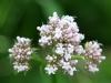 lyseroed-og-hvid-blomst