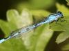 Blå vandnymfe I