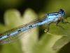 Blå vandnymfe II