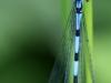 Ejby Mose - Blå vandnymfe II