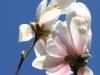 magnolie-3