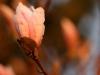 magnolie-i-aftensol