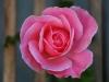 portraet-af-en-rose-2