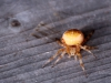 Gul korsedderkop I