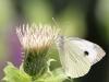 Kaalsommerfugl IV