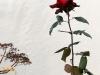 Sydhavnen - En enlig rose