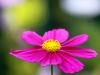 Tivoli blomst