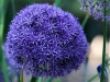 Tivoli - Blomst